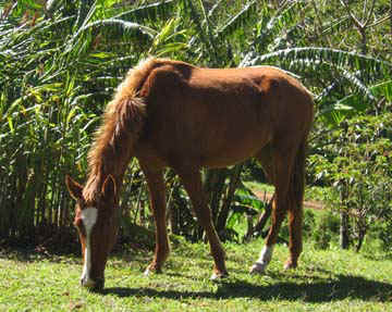 Chispa - smiling horse of Sabine in Monteverde Costa Rica