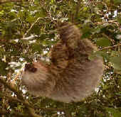 lucky day in Monteverde Costa Rica - sloth in nature