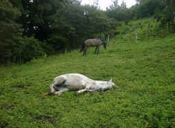 horse lying in the field